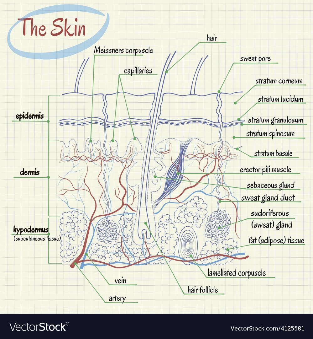 Skin Anatomy Royalty Free Vector Image Vectorstock