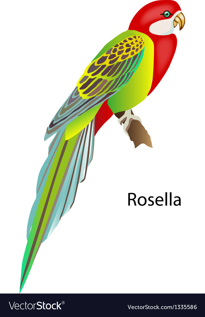 Parrot Rosella vector image