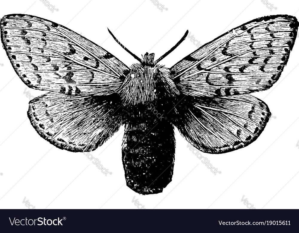 Female gipsy moth vintage