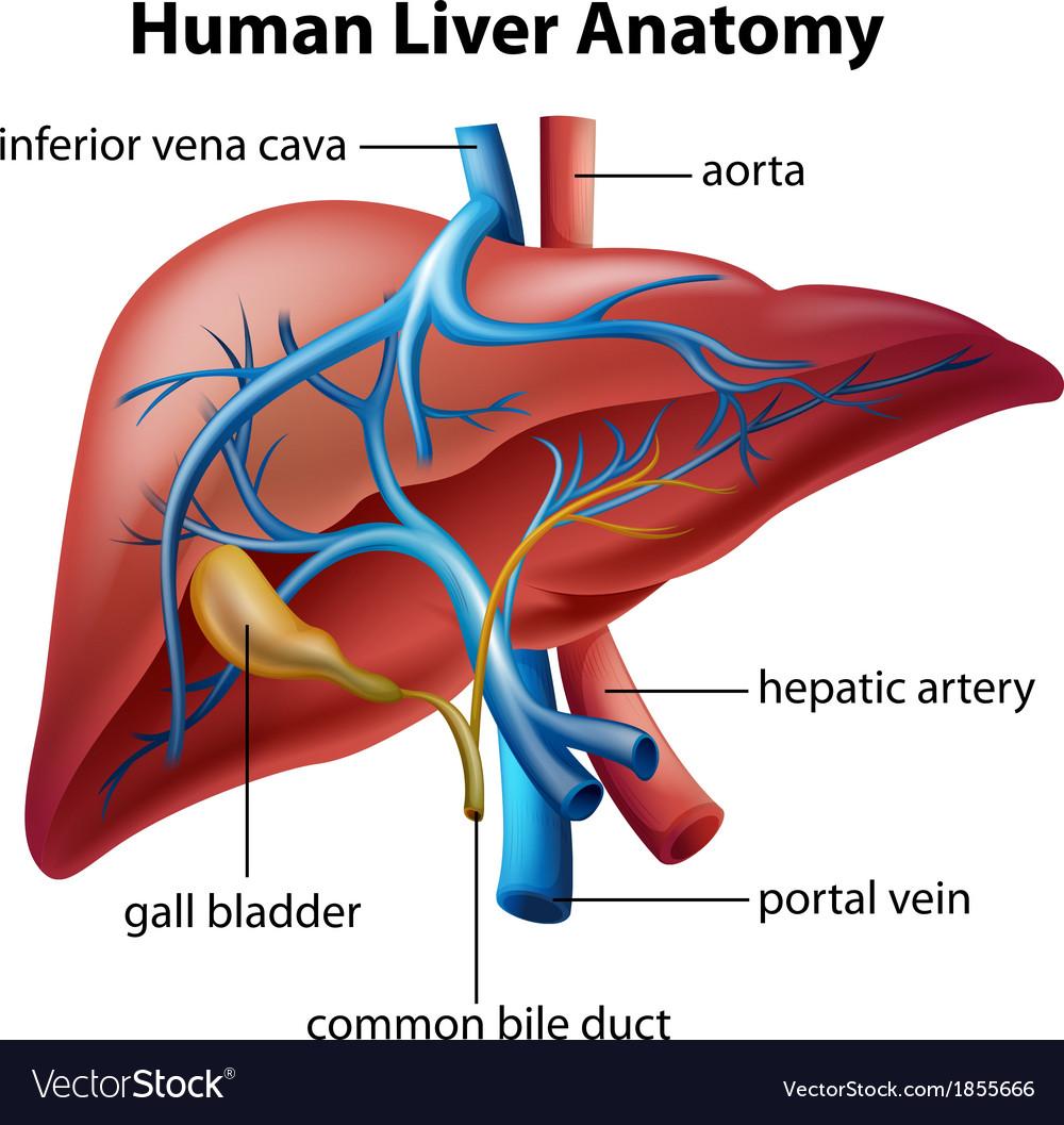Human Liver Anatomy Royalty Free Vector Image Vectorstock