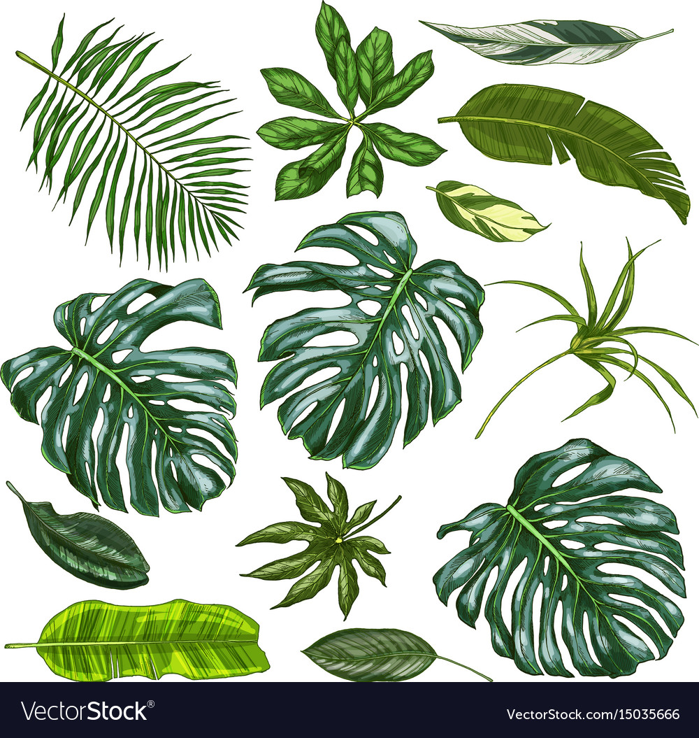 Realistic Full Color Tropical Leaves Royalty Free Vector Check out our tropical leaves png selection for the very best in unique or custom, handmade pieces from our craft supplies & tools shops. vectorstock
