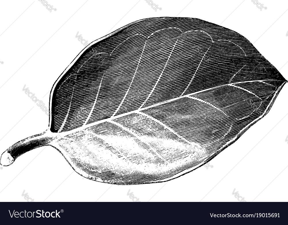 Leaf of ilex aquifolium hendersoni vintage