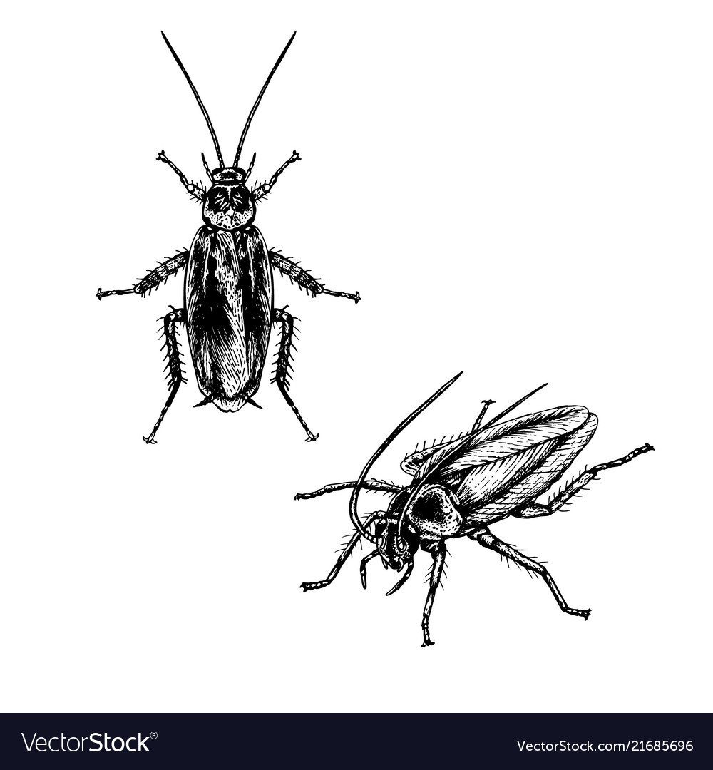 Hand drawn set of cockroach realistic sketches vector image