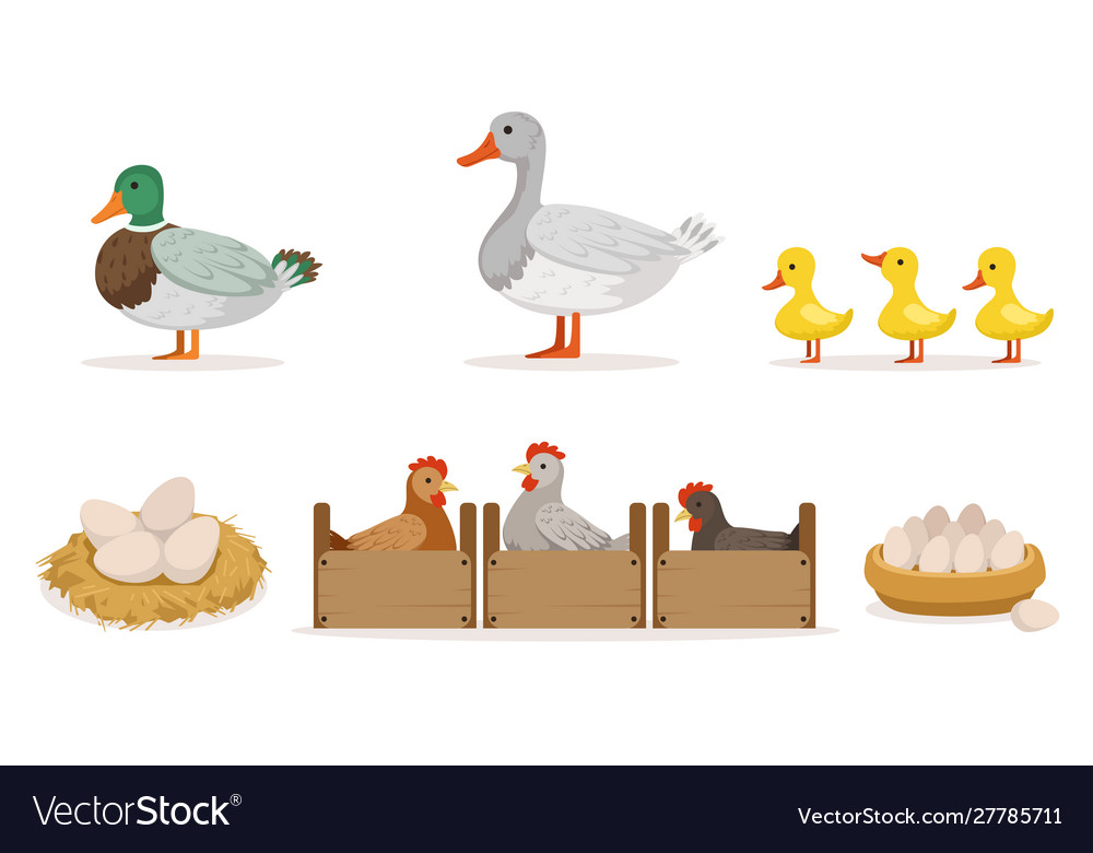 Poultry farm with hens ducks and gooses eggs and