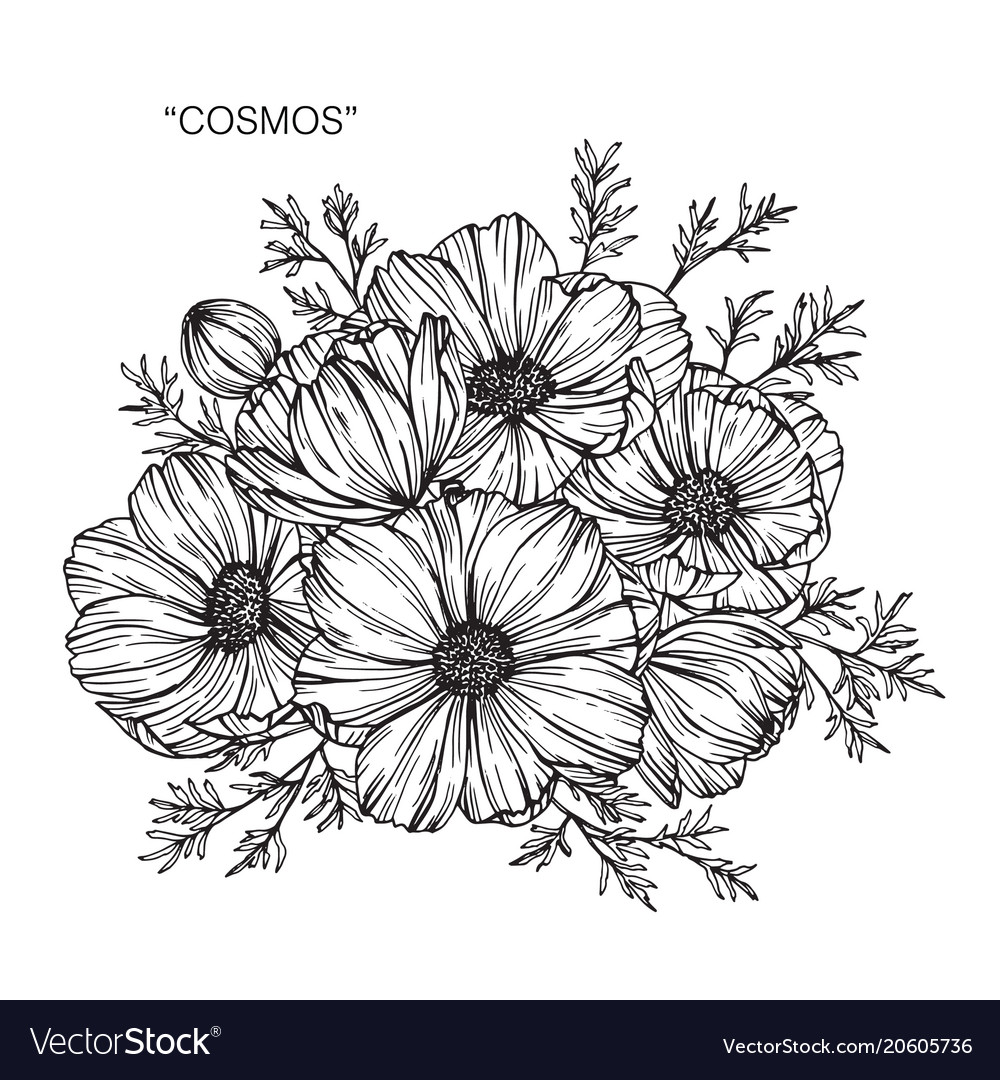Cosmos Flower Drawing Vector Image