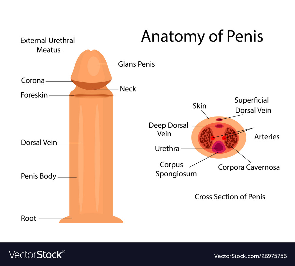 Module on base of penis