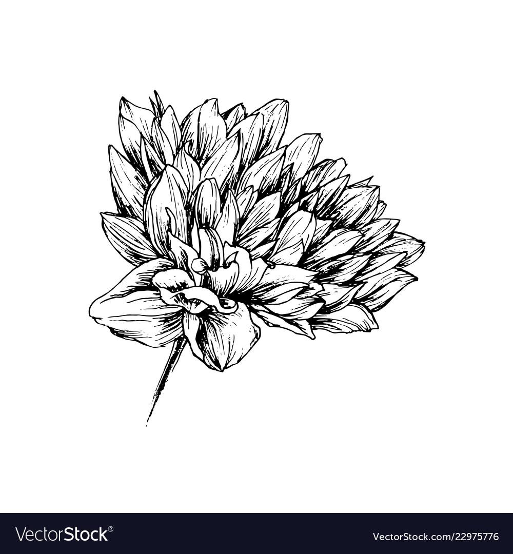 Chrysanthemum hand drawn ink pen