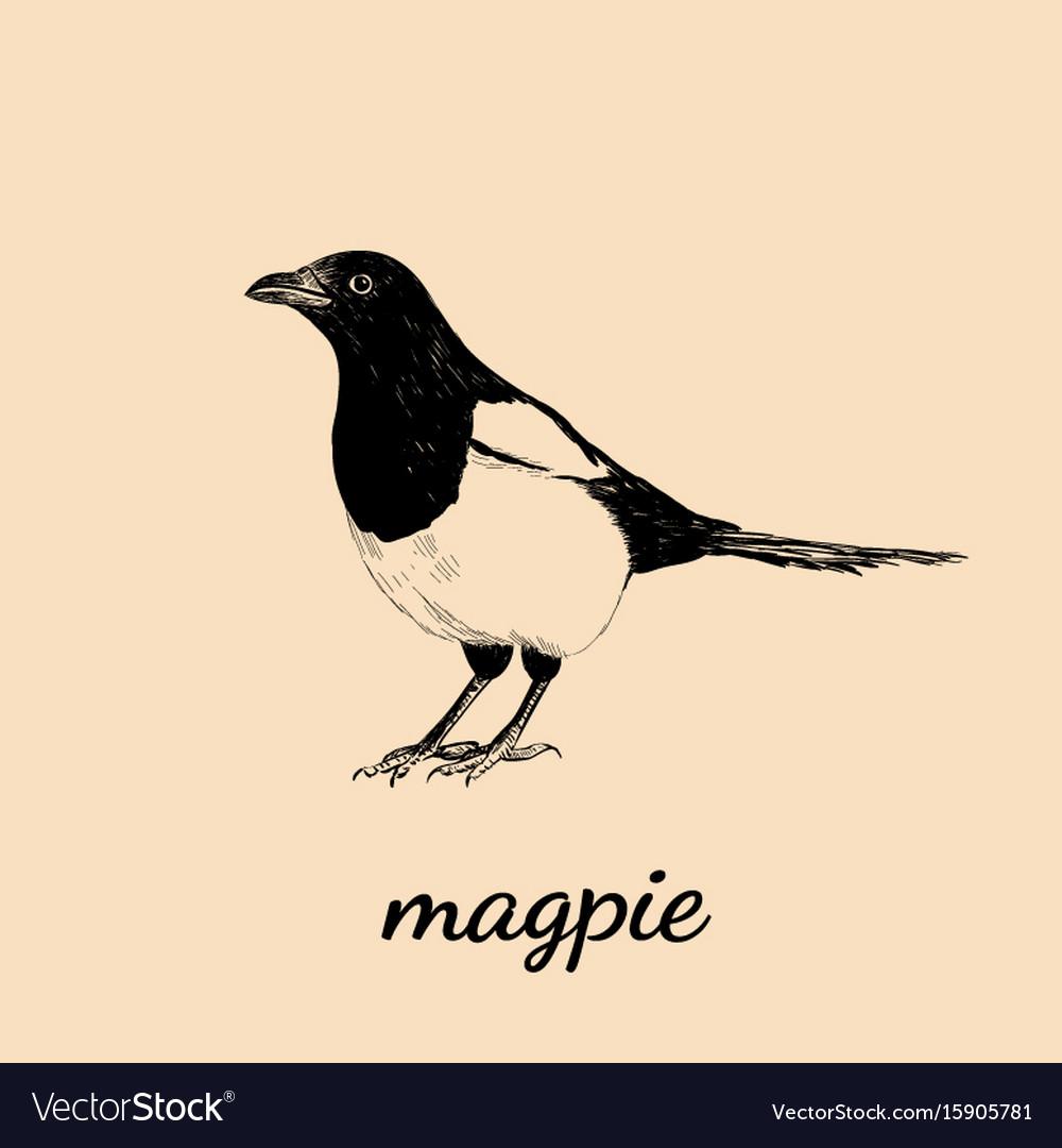 Magpie sketch bird magpie vector image