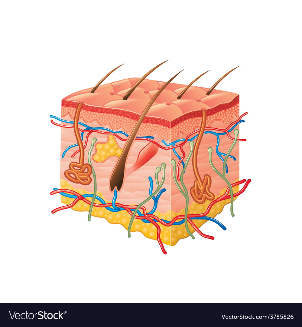 Human Skin Anatomy Isolated Royalty Free Vector Image