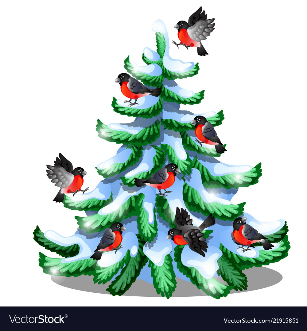 Merry bullfinches sit on a snowy spruce isolated