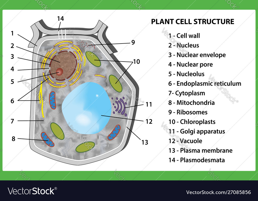 Plant cell structure on white background Vector Image