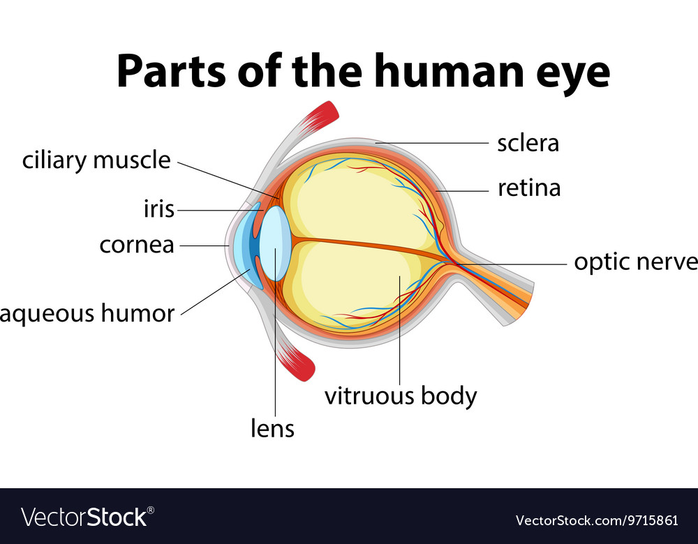 Parts of human eye with name royalty free vector image parts of human eye with name vector image ccuart Choice Image