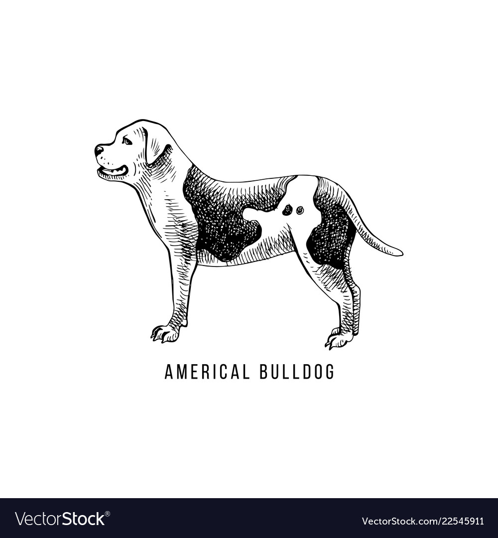 American bulldog sketch and lettering in dogs
