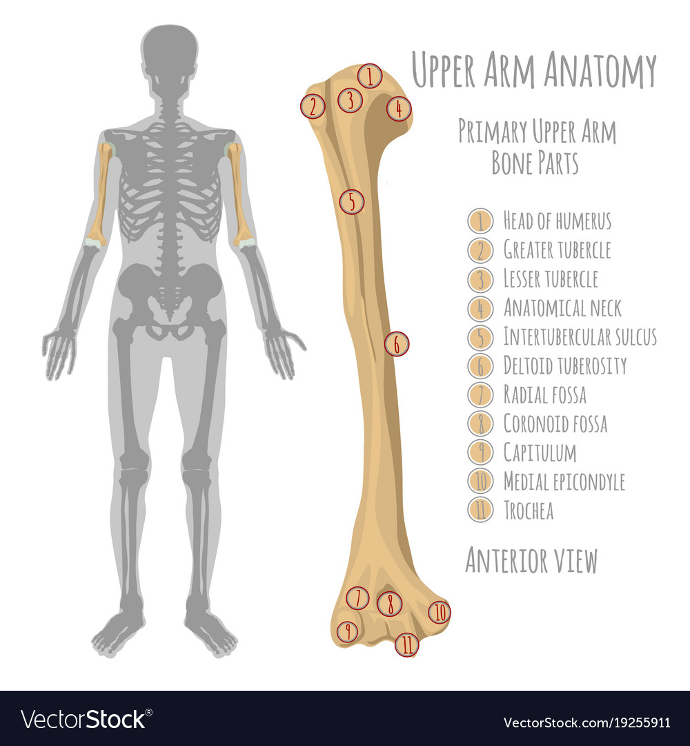 Human upper arm anatomy Royalty Free Vector Image