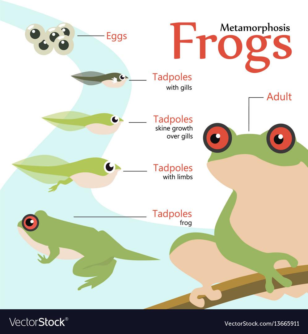 Metamorphosis life cycle of a frog