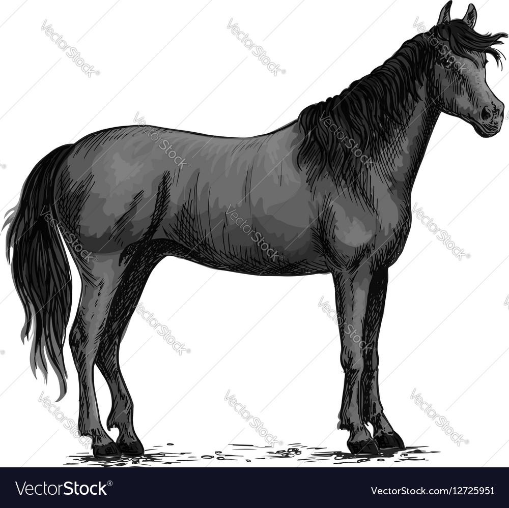 Black wild horse standing sketch vector image