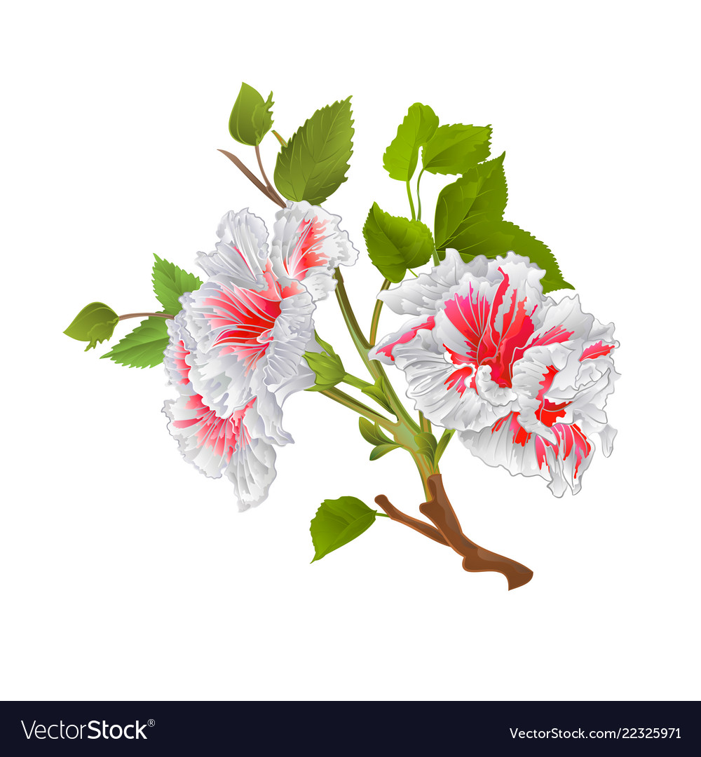 Branch White Hibiscus Tropical Flowers Royalty Free Vector