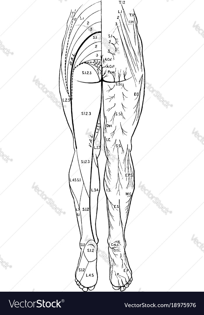 Cutaneous nerves of the back legs vintage Vector Image