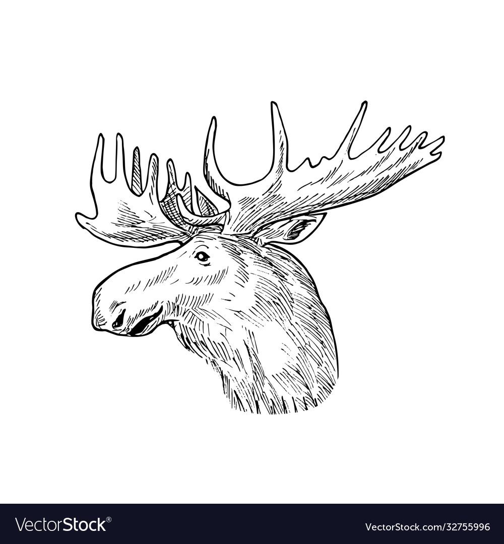 Head a bull moose or elk alces alces