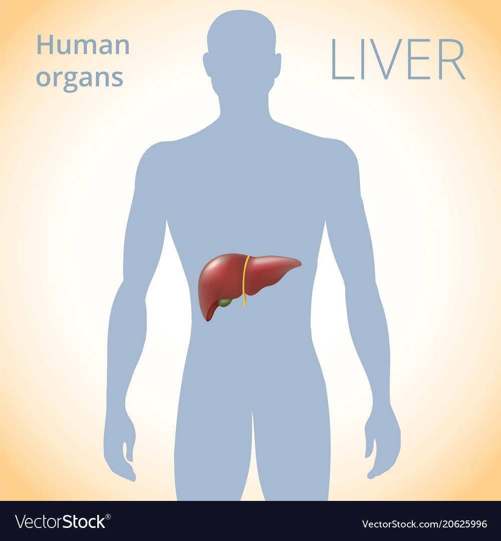 Location Of The Liver In The Body The Human Vector Image