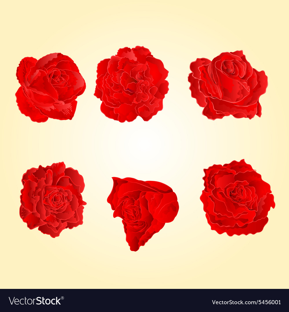 Blossom Red Roses Symbol Of Love Royalty Free Vector Image