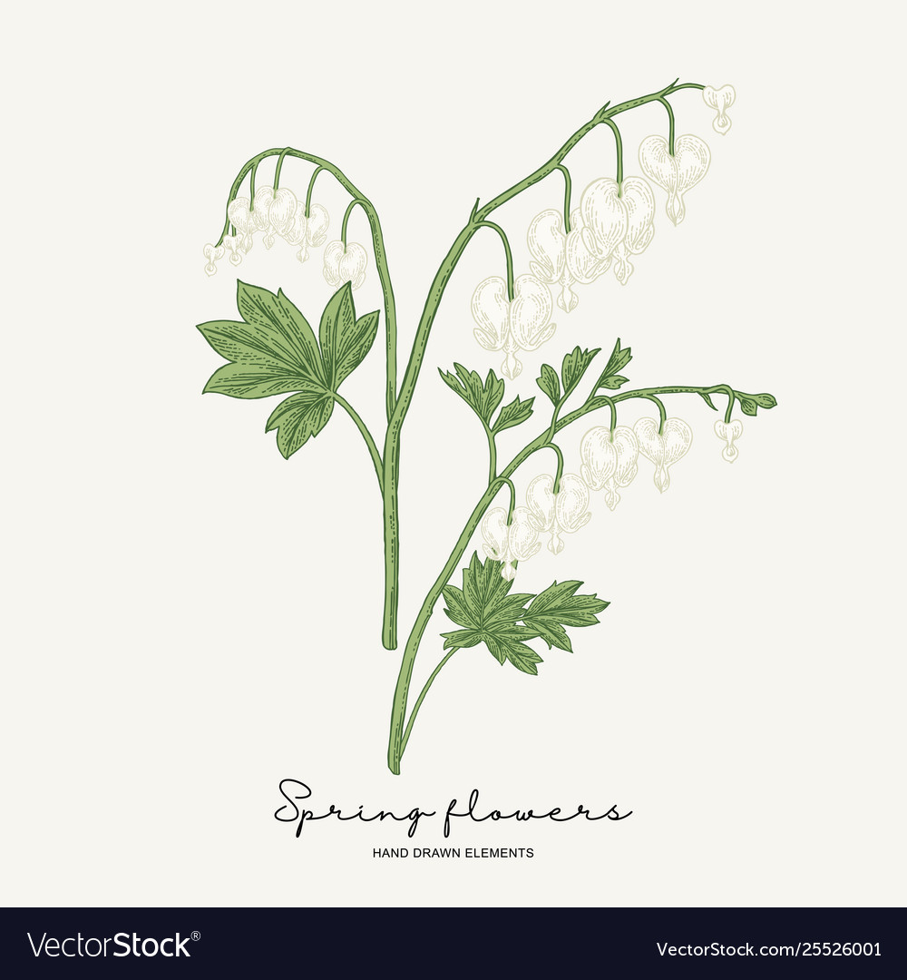 Hand drawn dicentra white heartshaped spring