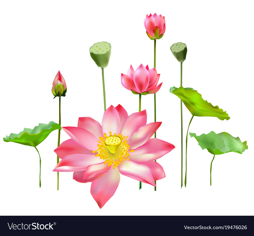 Flowers buds and leaves of the lotus royalty free vector flowers buds and leaves of the lotus vector image mightylinksfo