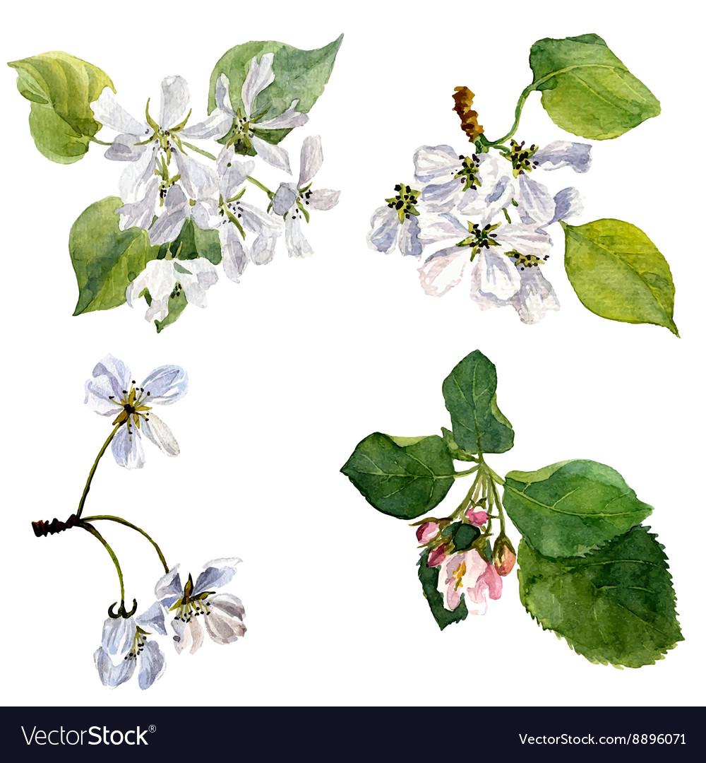 Watercolor apple tree flowers