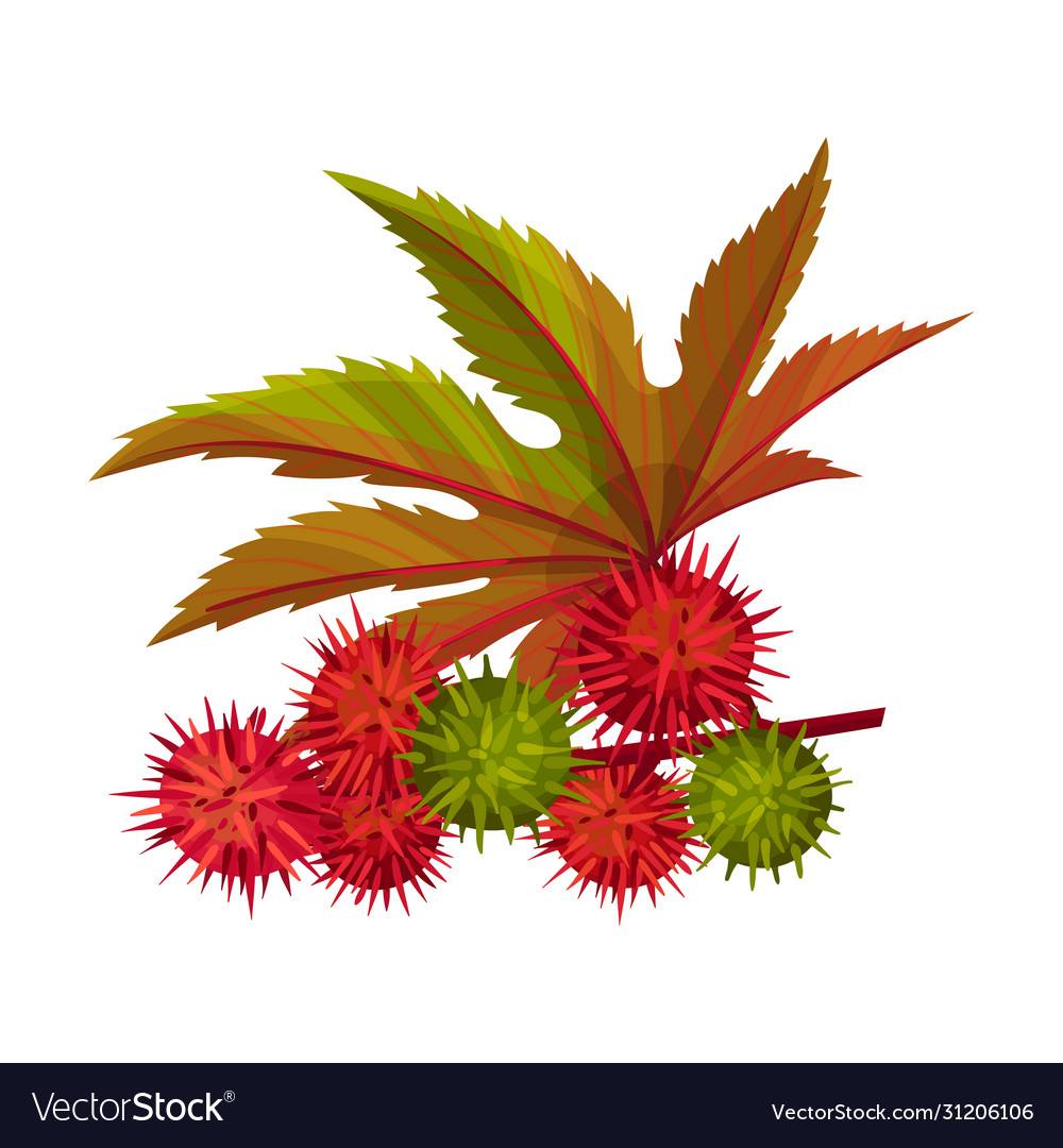Ricinus Or Castor Oil Plant With Green Palmate Vector Image