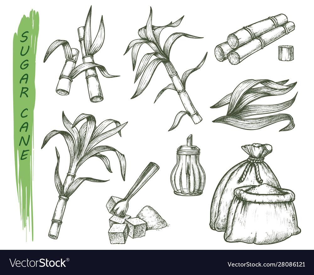 Sugar cane or sugarcane isolated sketch symbols