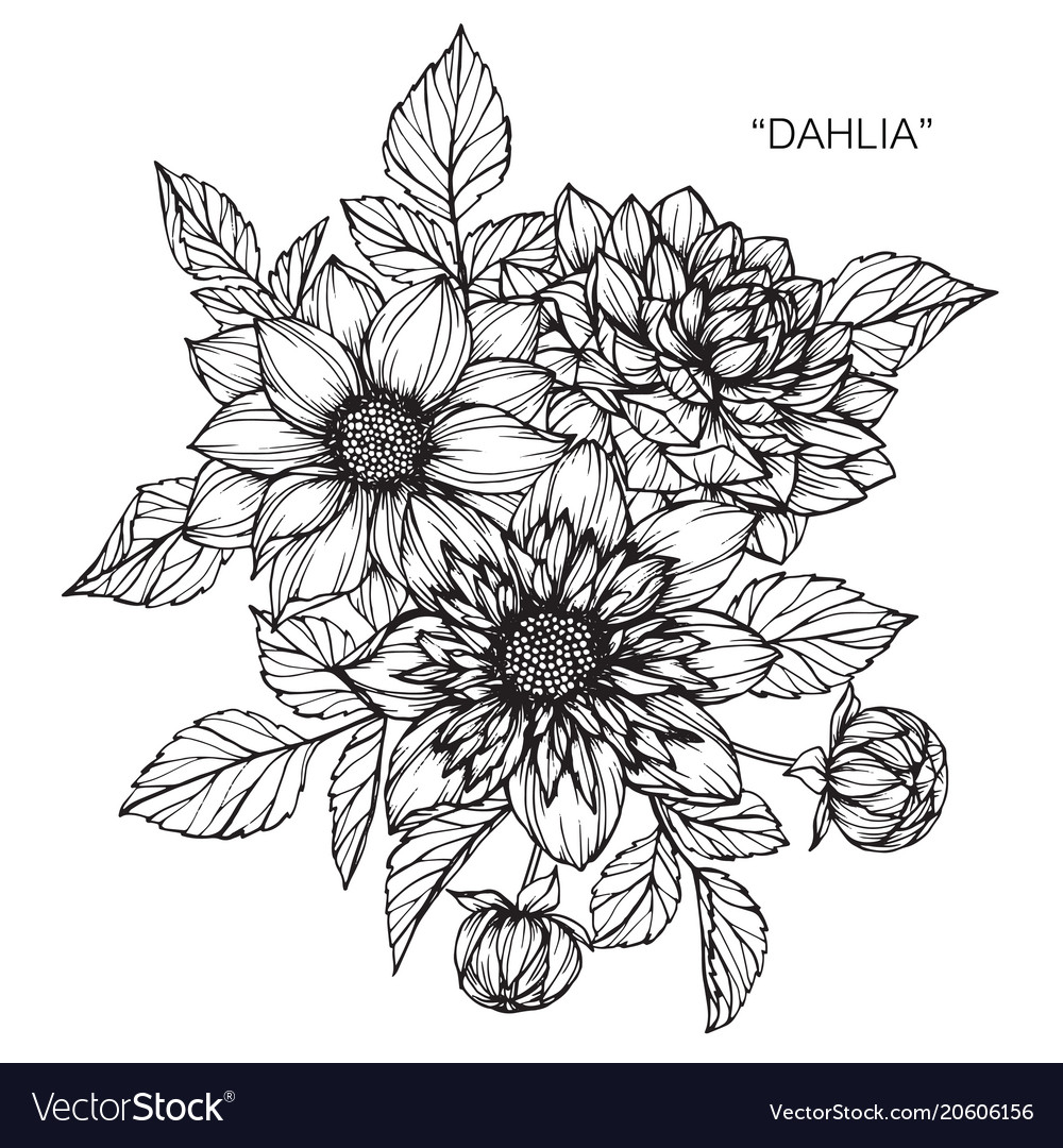 Dahlia Flower Drawing Royalty Free Vector Image