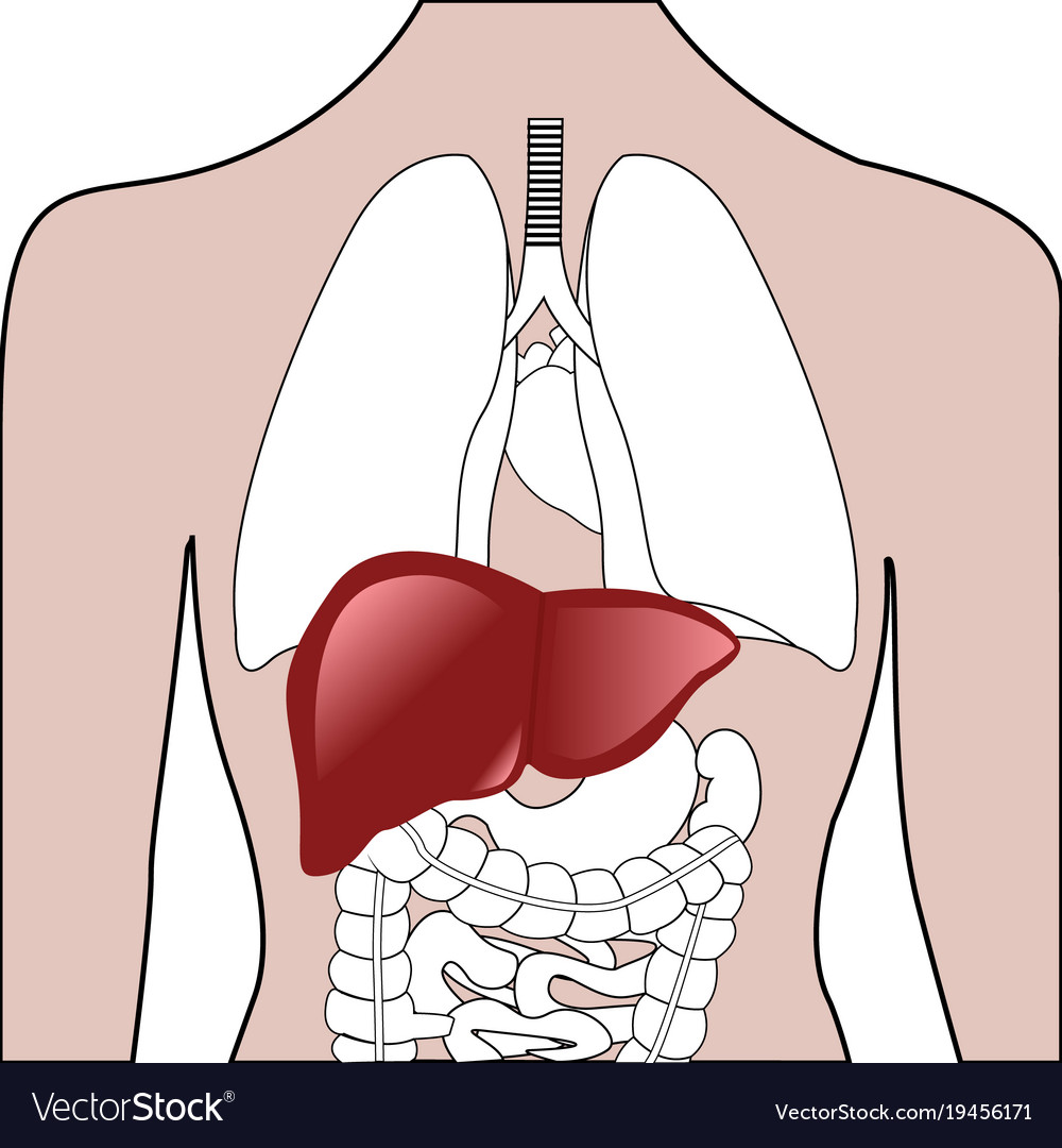 Liver Location In A Human Body Royalty Free Vector Image