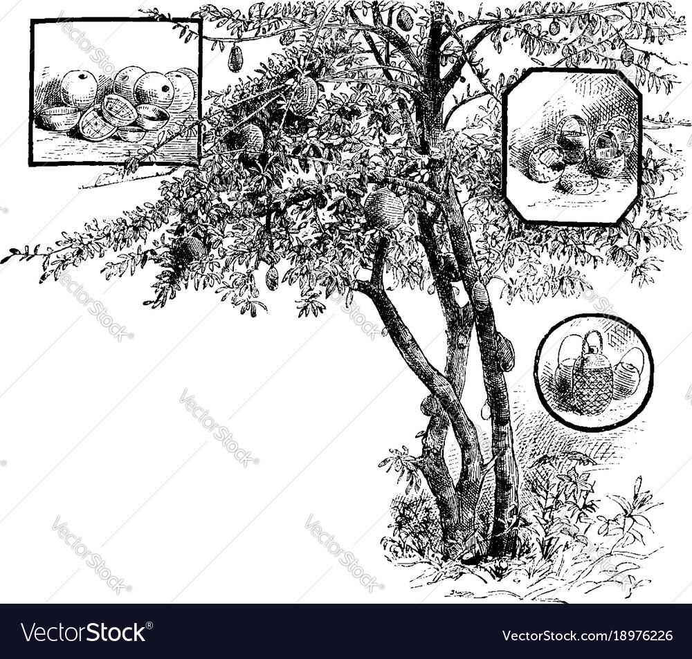 Calabash tree vintage vector image