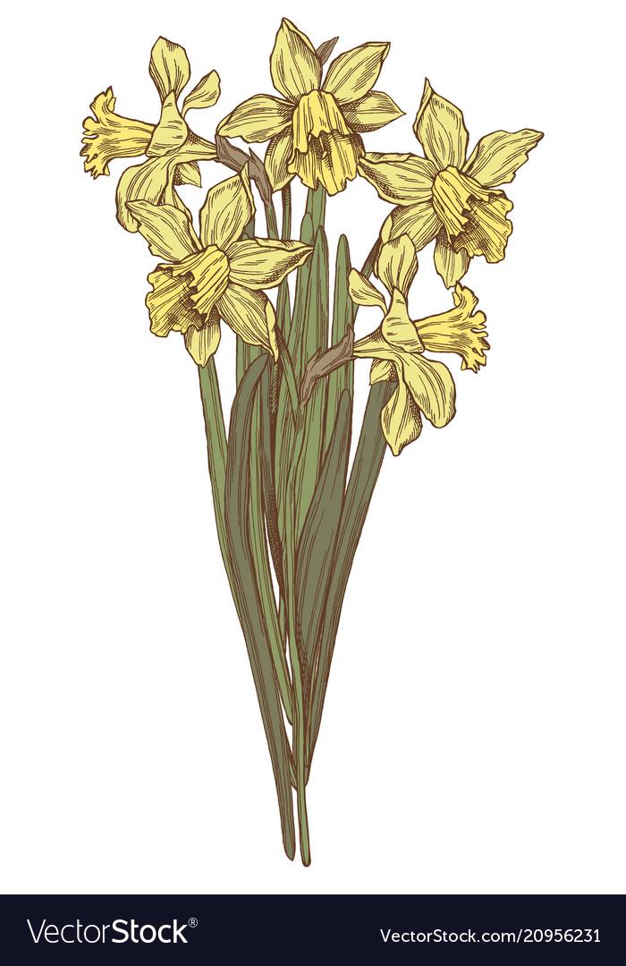 Hand drawn daffodils