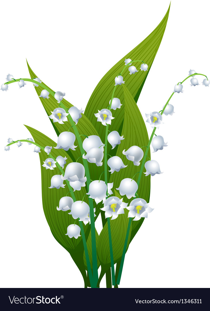 Lily Of The Valley Royalty Free Vector Image Vectorstock