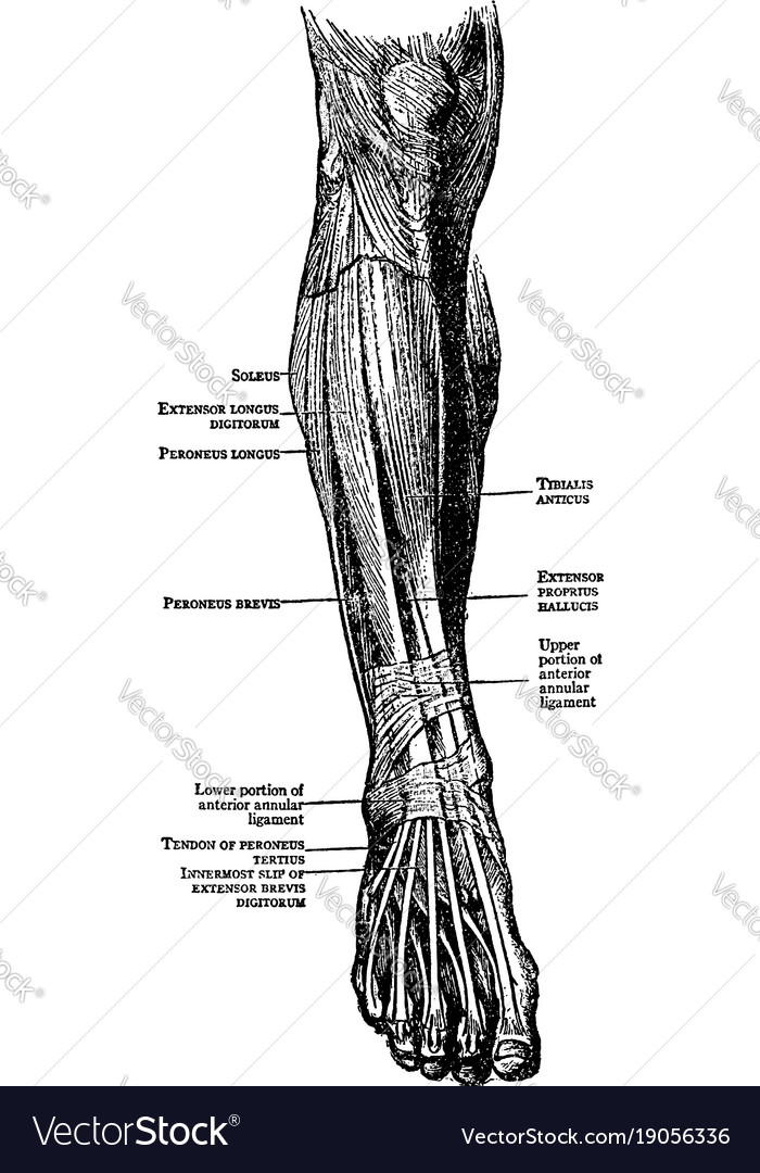 Muscles Of The Leg And Foot Vintage Royalty Free Vector