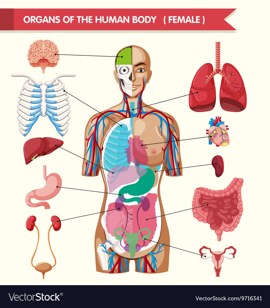 Organs Of The Human Body Diagram Royalty Free Vector Image