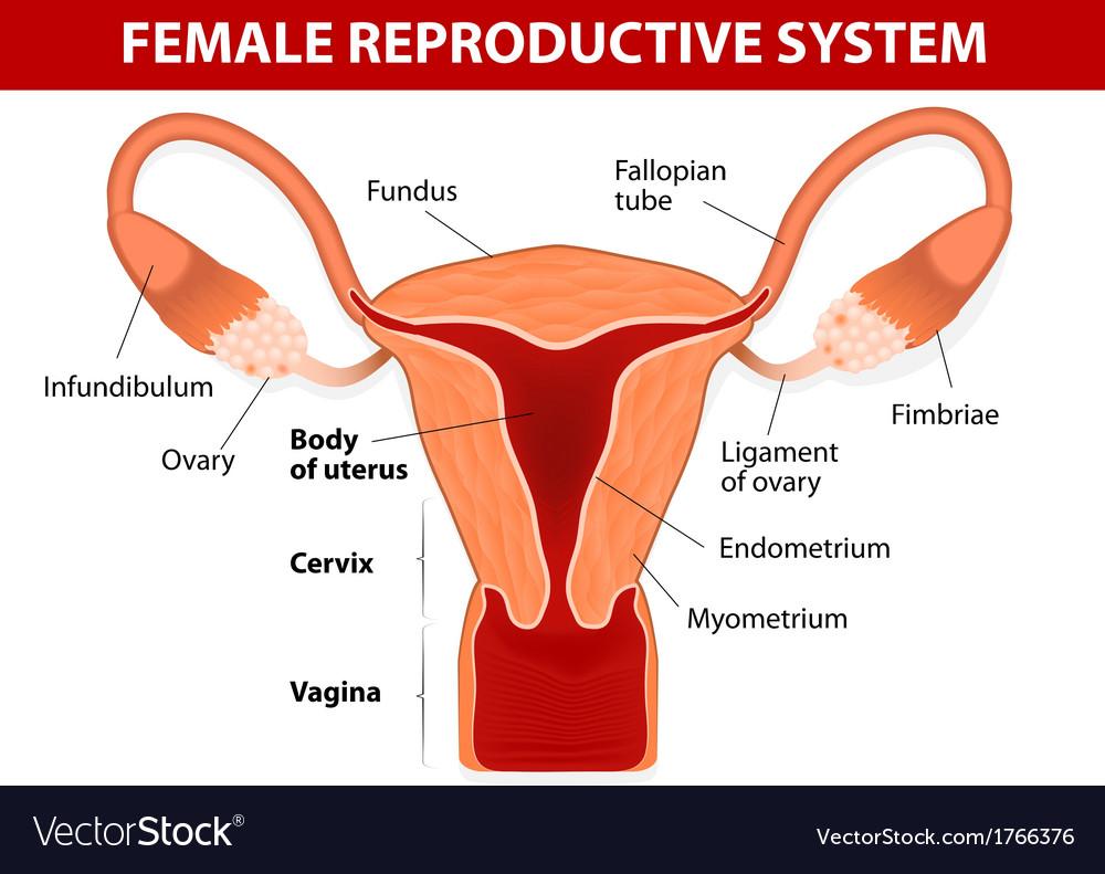 Uterus And Uterine Tubes Royalty Free Vector Image
