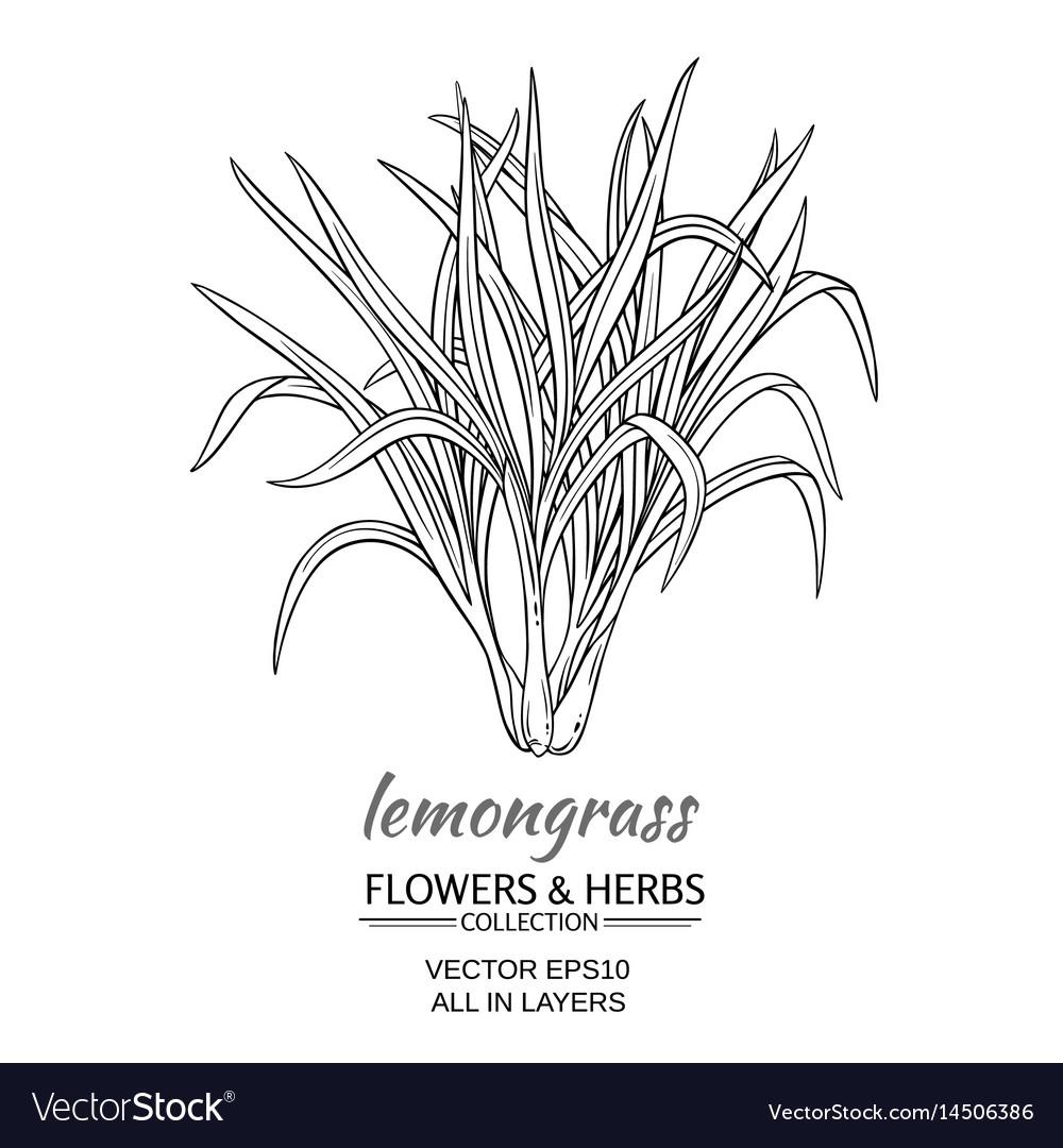 Lemongrass vector image