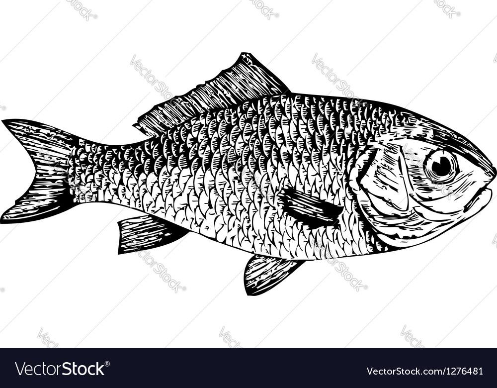 Dorade goldfish Cyprinus auratus