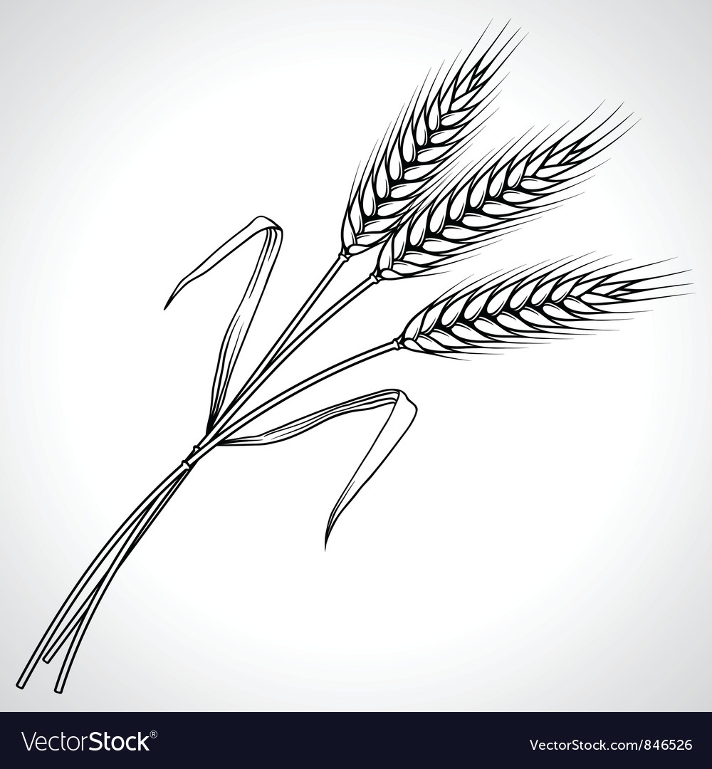 Ripe black wheat ears isolated vector image