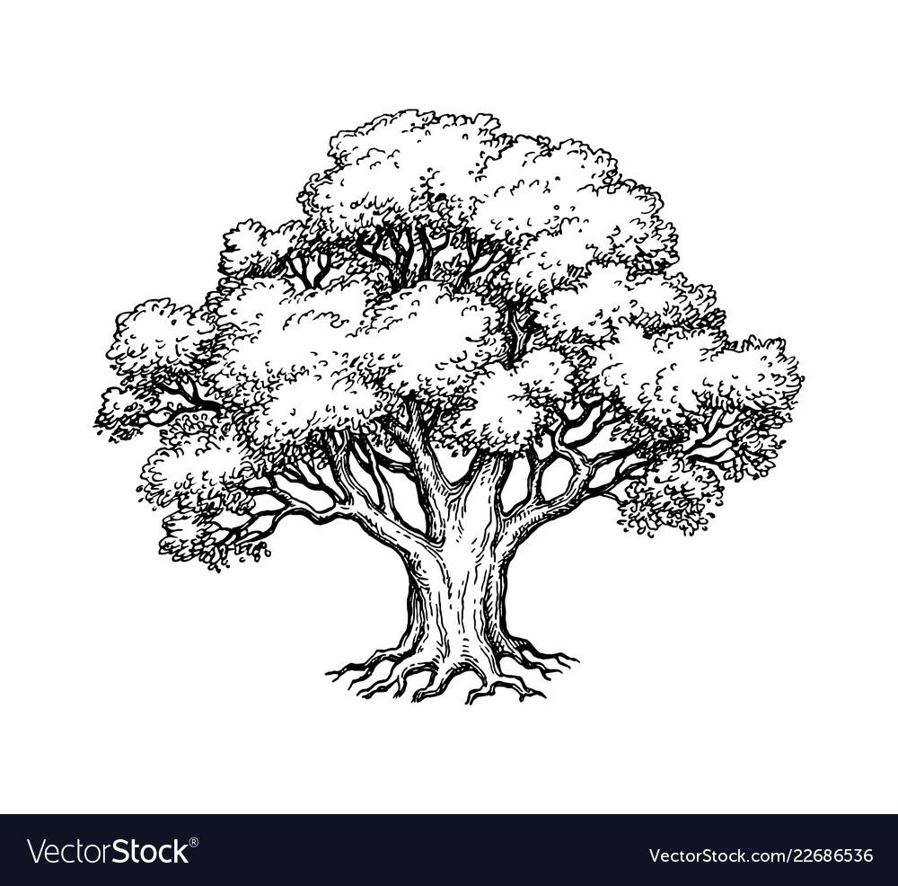 Ink sketch of oak tree