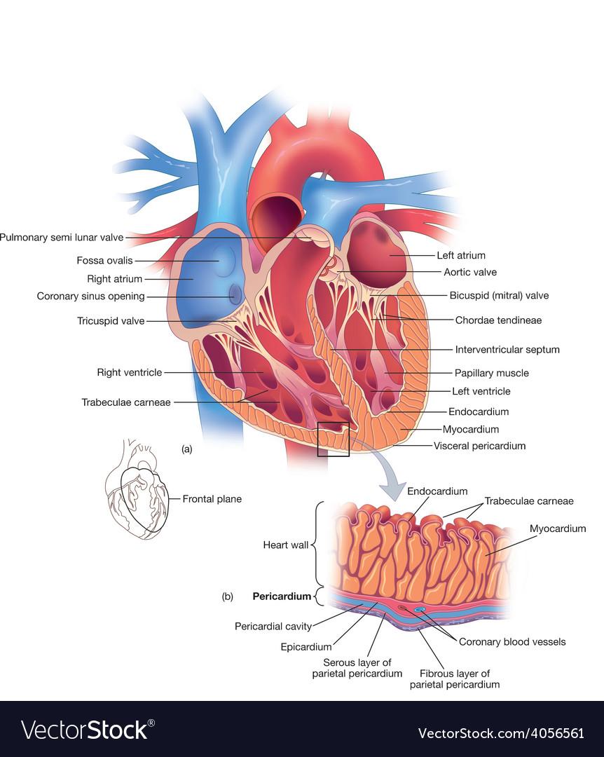 Heart diagram Royalty Free Vector Image - VectorStock