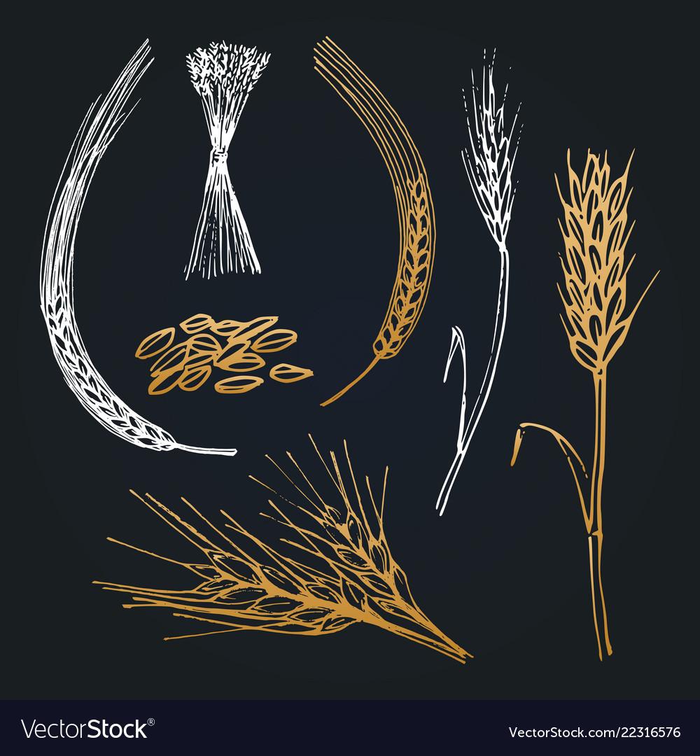 Spikes and ears of wheat barley rye hand drawn
