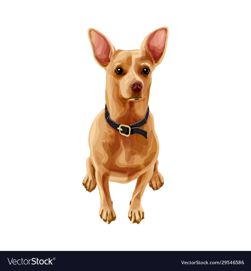 Brown russian toy terrier dog