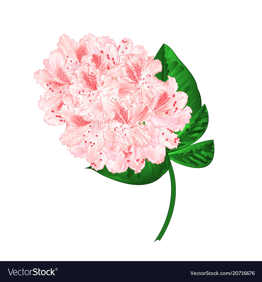 Light Pink Flowers Rhododendron Branch Royalty Free Vector