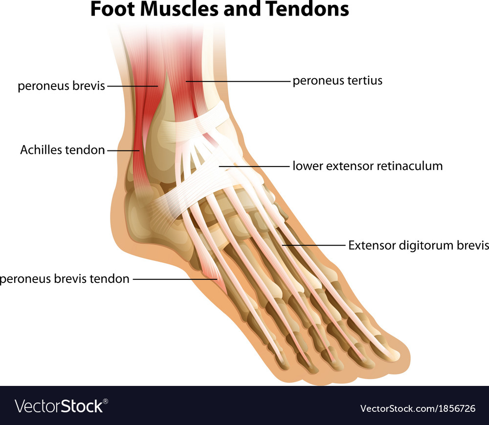 Foot Muscles and Tendons Royalty Free Vector Image