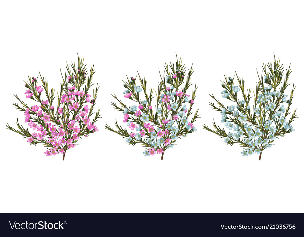 Chamaelaucium waxflower blue and pink flowers