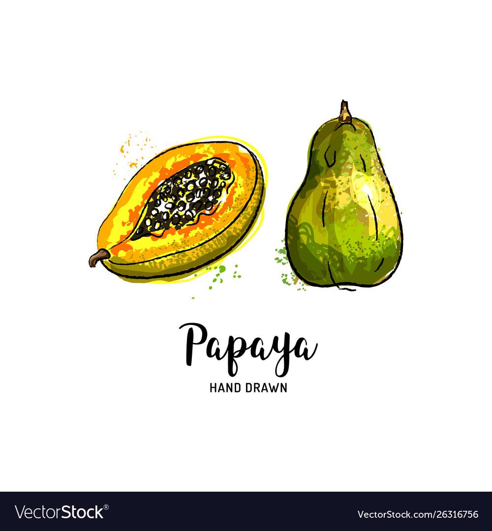 Papaya fruit drawing papaya pawpaw slice and