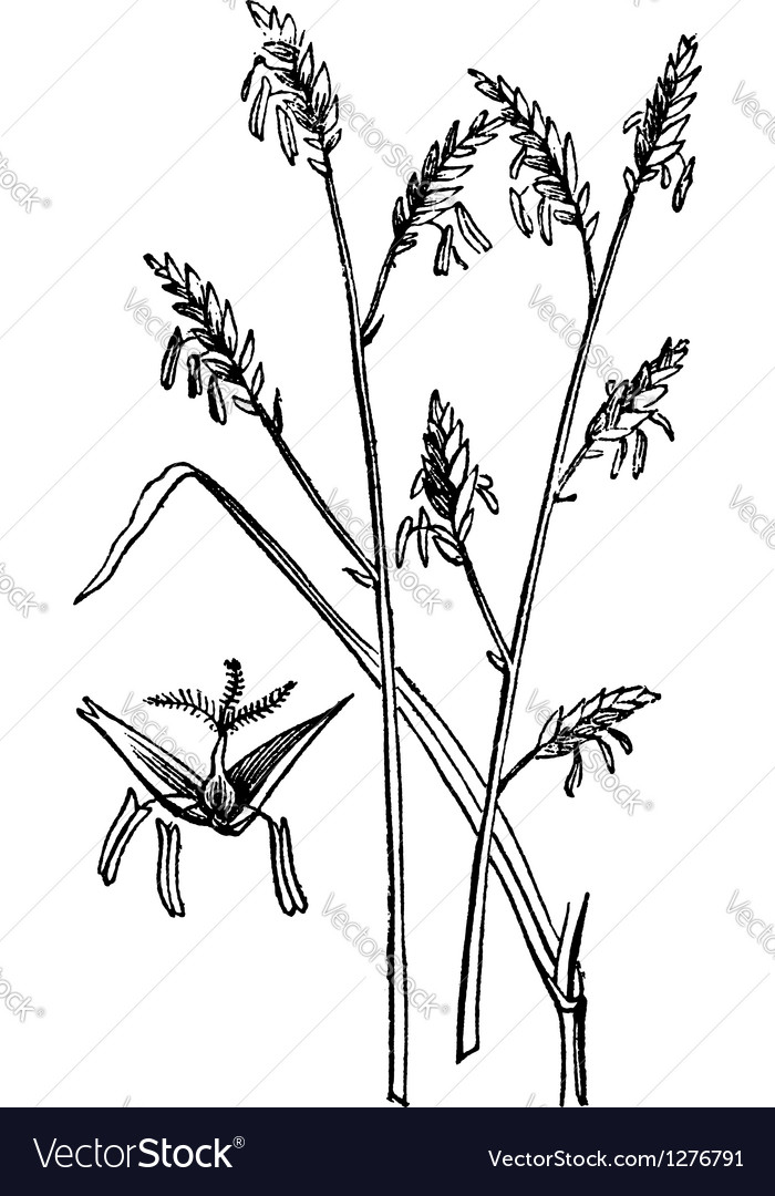 Canes plant engraving vector image